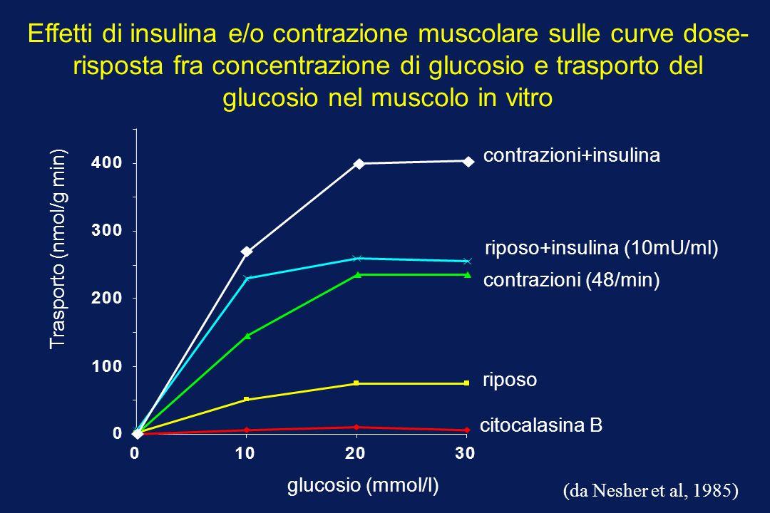 Trasporto (nmol/g min) glucosio (mmol/l) riposo citocalasina B contrazioni (48/min) riposo+insulina (10mU/ml) 0 100 200 300 400 0102030 (da Nesher et