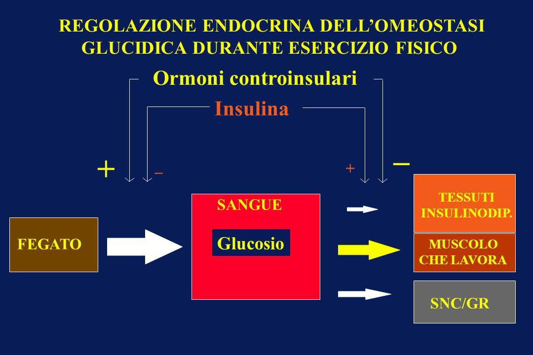 FEGATO Ormoni controinsulari Insulina _ + Glucosio SANGUE SNC/GR TESSUTI INSULINODIP. _ + REGOLAZIONE ENDOCRINA DELLOMEOSTASI GLUCIDICA DURANTE ESERCI