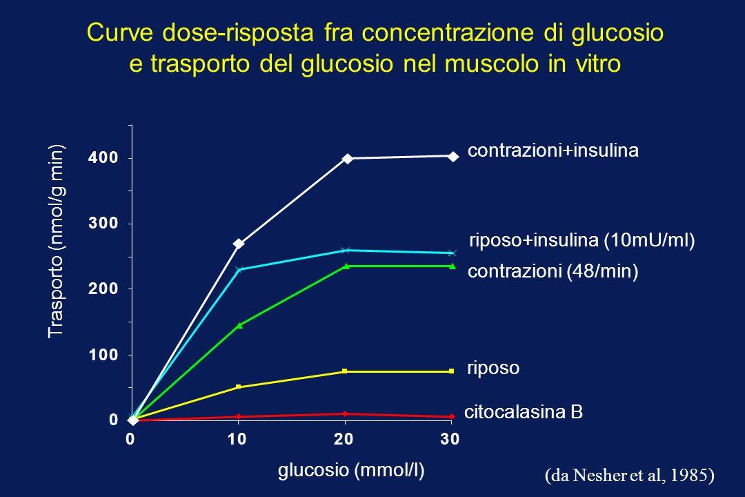 Trasporto (nmol/g min) glucosio (mmol/l) riposo Curve dose-risposta fra concentrazione di glucosio e trasporto del glucosio nel muscolo in vitro citocalasina B contrazioni (48/min) riposo+insulina (10mU/ml) 0 100 200 300 400 0102030 (da Nesher et al, 1985) contrazioni+insulina