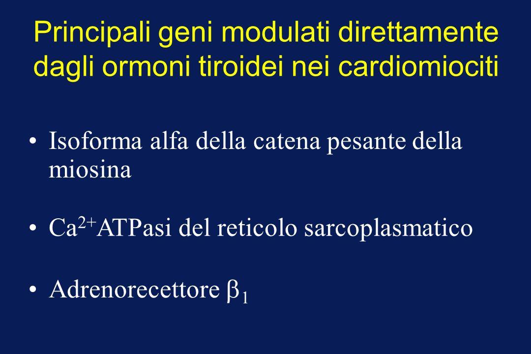 Principali geni modulati direttamente dagli ormoni tiroidei nei cardiomiociti Ca 2+ ATPasi del reticolo sarcoplasmatico Isoforma alfa della catena pesante della miosina Adrenorecettore 1