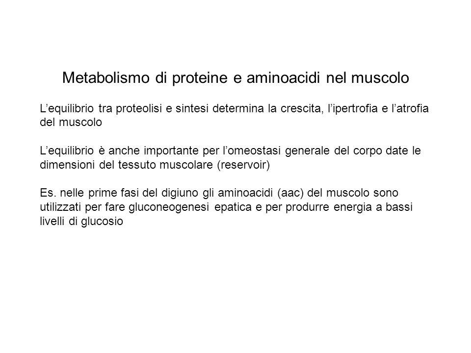 Metabolismo di proteine e aminoacidi nel muscolo Lequilibrio tra proteolisi e sintesi determina la crescita, lipertrofia e latrofia del muscolo Lequil