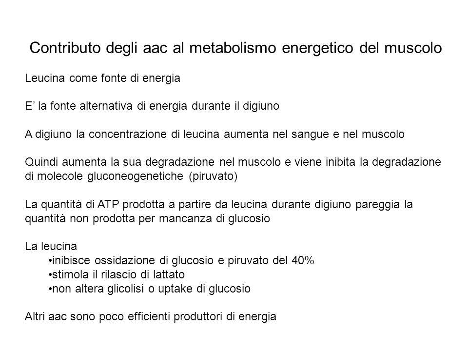 Contributo degli aac al metabolismo energetico del muscolo Leucina come fonte di energia E la fonte alternativa di energia durante il digiuno A digiun