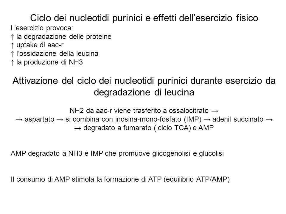 Ciclo dei nucleotidi purinici e effetti dellesercizio fisico Lesercizio provoca: la degradazione delle proteine uptake di aac-r lossidazione della leu