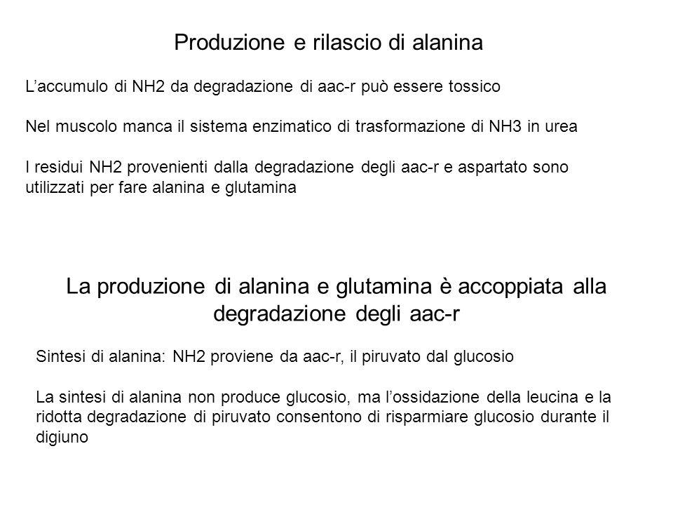 Produzione e rilascio di alanina Laccumulo di NH2 da degradazione di aac-r può essere tossico Nel muscolo manca il sistema enzimatico di trasformazion