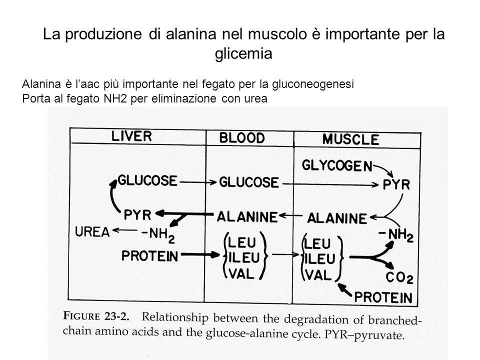 La produzione di alanina nel muscolo è importante per la glicemia Alanina è laac più importante nel fegato per la gluconeogenesi Porta al fegato NH2 p