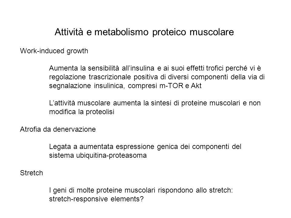 Attività e metabolismo proteico muscolare Work-induced growth Aumenta la sensibilità allinsulina e ai suoi effetti trofici perché vi è regolazione tra