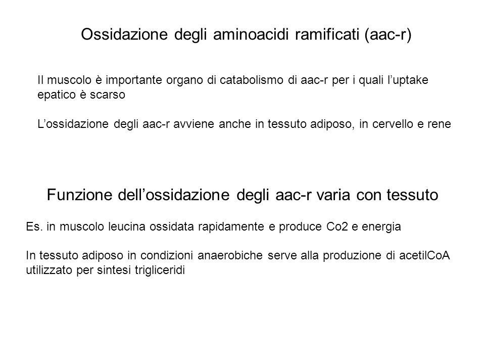 Ossidazione degli aminoacidi ramificati (aac-r) Il muscolo è importante organo di catabolismo di aac-r per i quali luptake epatico è scarso Lossidazio