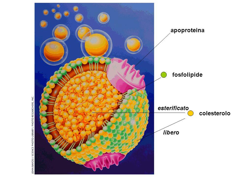 colesterolo libero esterificato fosfolipide apoproteina