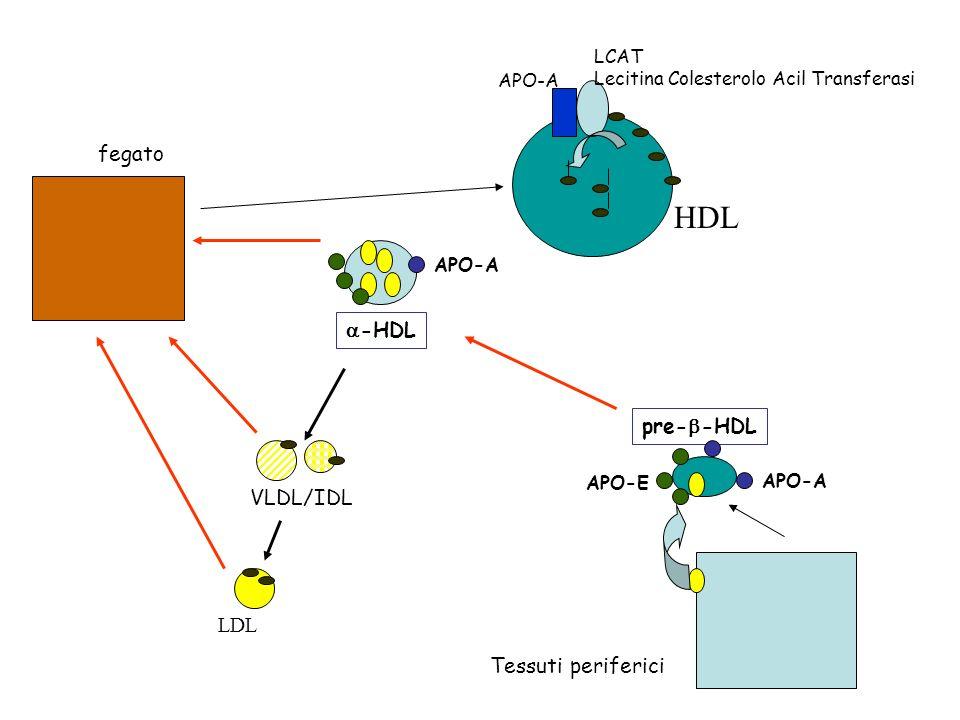 fegato VLDL/IDL LDL APO-A LCAT Lecitina Colesterolo Acil Transferasi HDL APO-A -HDL pre- -HDL APO-E APO-A Tessuti periferici