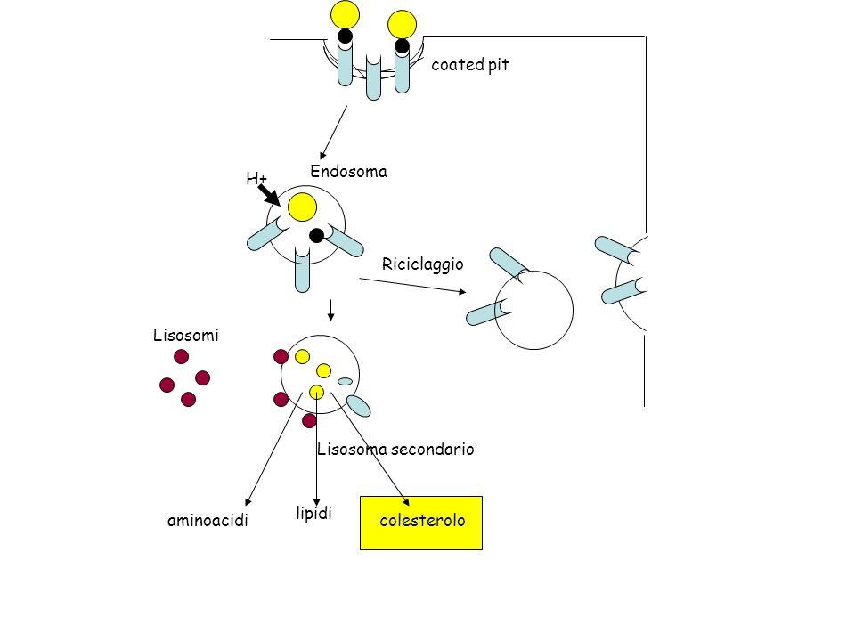 Lisosomi Lisosoma secondario Riciclaggio Endosoma H+ aminoacidi lipidi colesterolo coated pit