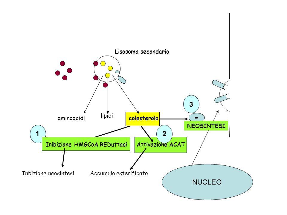 2 Inbizione neosintesi Attivazione ACAT Accumulo esterificato NUCLEO Lisosoma secondario aminoacidi lipidi colesterolo Inibizione HMGCoA REDuttasi 1 N