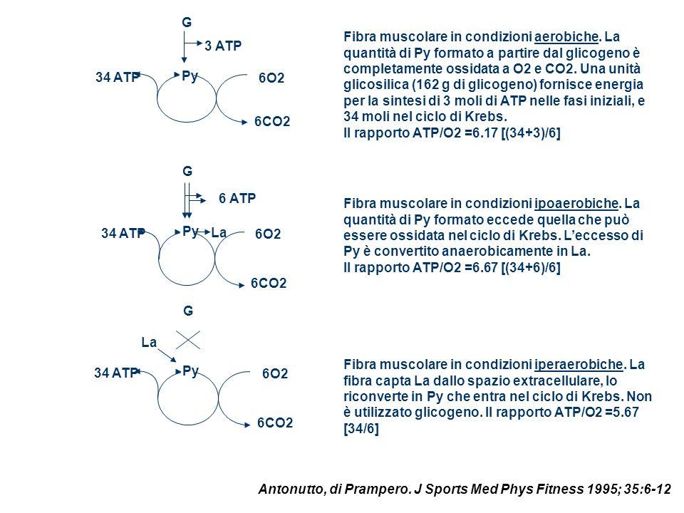 Py 6O2 6CO2 G 34 ATP 3 ATP Py 6O2 6CO2 G 34 ATP 6 ATP La Py 6O2 6CO2 G 34 ATP La Fibra muscolare in condizioni aerobiche. La quantità di Py formato a