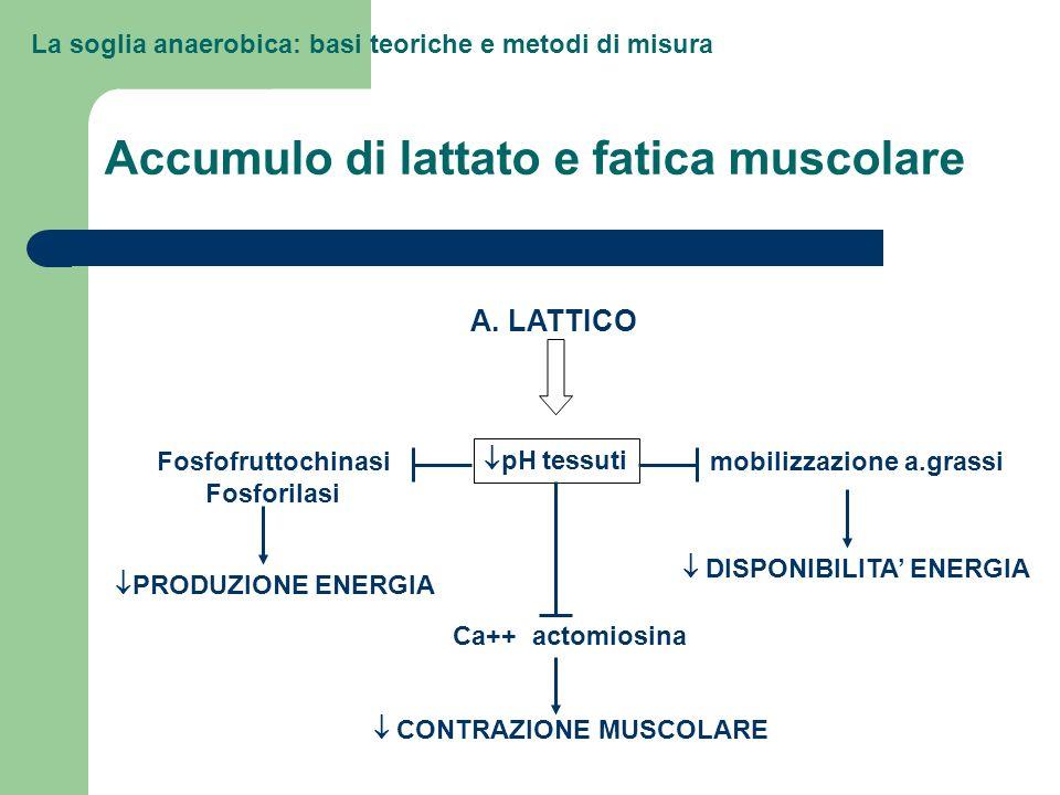 La soglia anaerobica: basi teoriche e metodi di misura Accumulo di lattato e fatica muscolare A. LATTICO pH tessuti Fosfofruttochinasi Fosforilasi Ca+