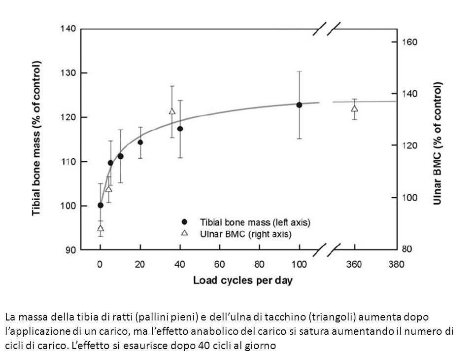 La massa della tibia di ratti (pallini pieni) e dellulna di tacchino (triangoli) aumenta dopo lapplicazione di un carico, ma leffetto anabolico del ca