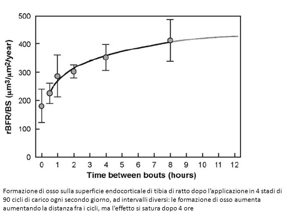 Formazione di osso sulla superficie endocorticale di tibia di ratto dopo lapplicazione in 4 stadi di 90 cicli di carico ogni secondo giorno, ad interv