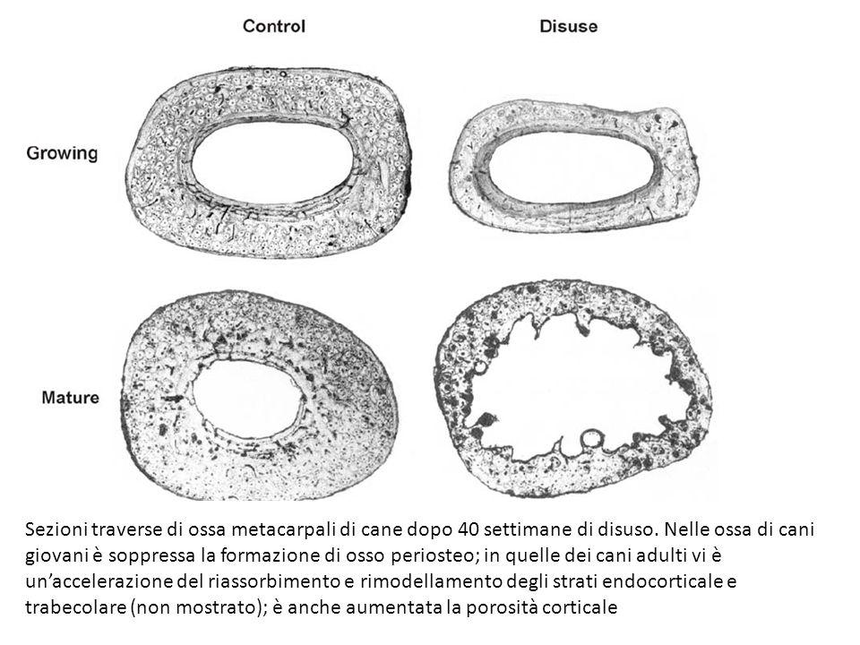 Sezioni traverse di ossa metacarpali di cane dopo 40 settimane di disuso. Nelle ossa di cani giovani è soppressa la formazione di osso periosteo; in q