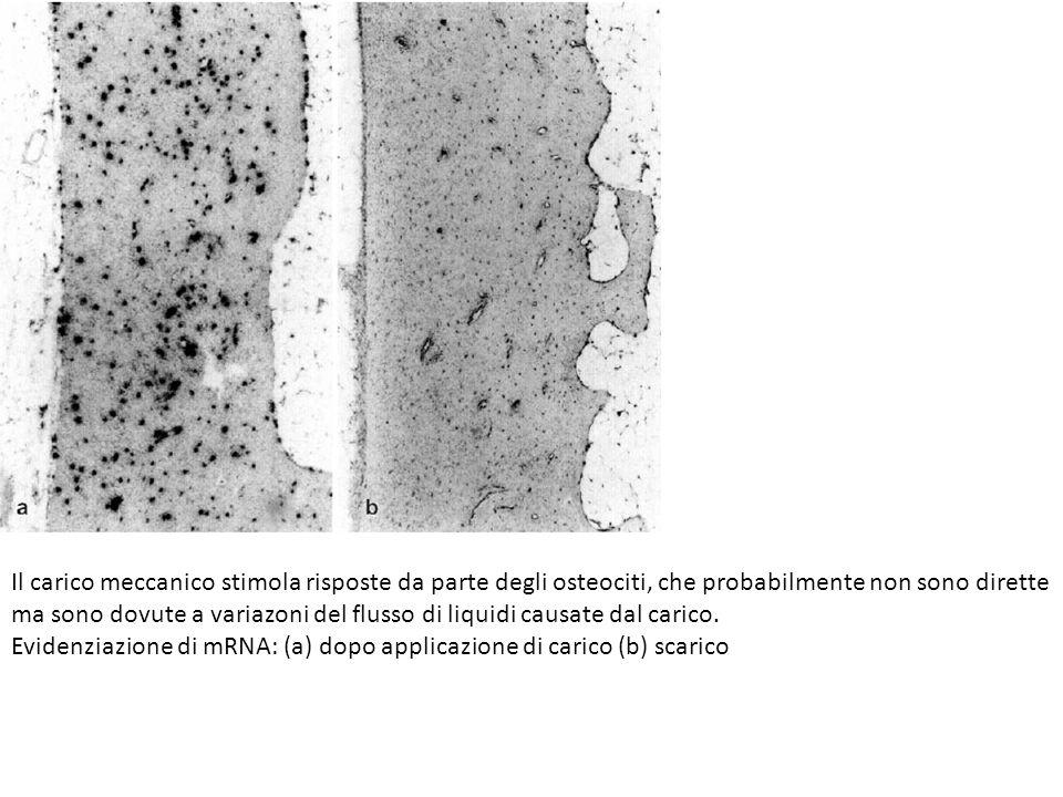Il carico meccanico stimola risposte da parte degli osteociti, che probabilmente non sono dirette ma sono dovute a variazoni del flusso di liquidi cau