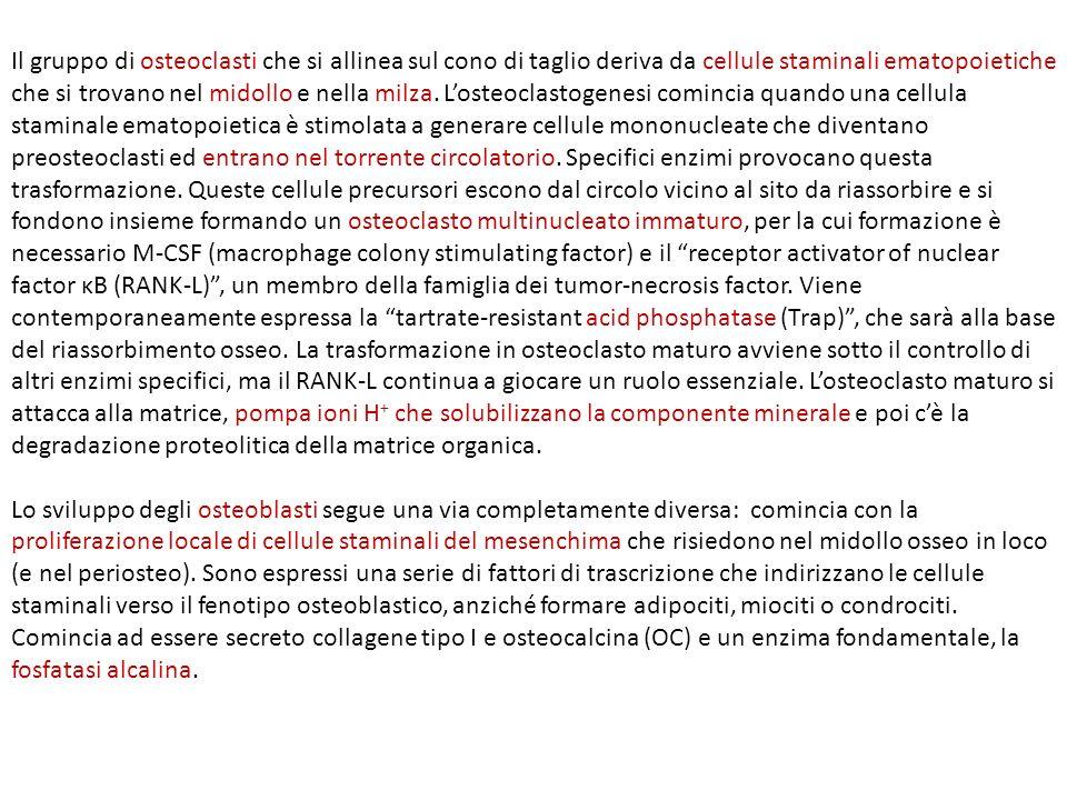 Formazione di osteoclasti e osteoblasti.
