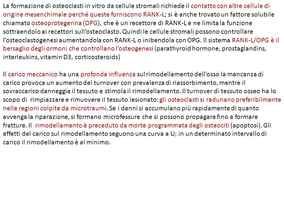 Il turnover dellosso (rimodellamento) aumenta in condizioni di disuso (rosso) e di uso ecessivo (arancio).