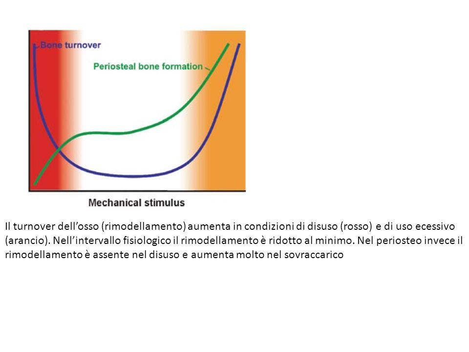 Il turnover dellosso (rimodellamento) aumenta in condizioni di disuso (rosso) e di uso ecessivo (arancio). Nellintervallo fisiologico il rimodellament