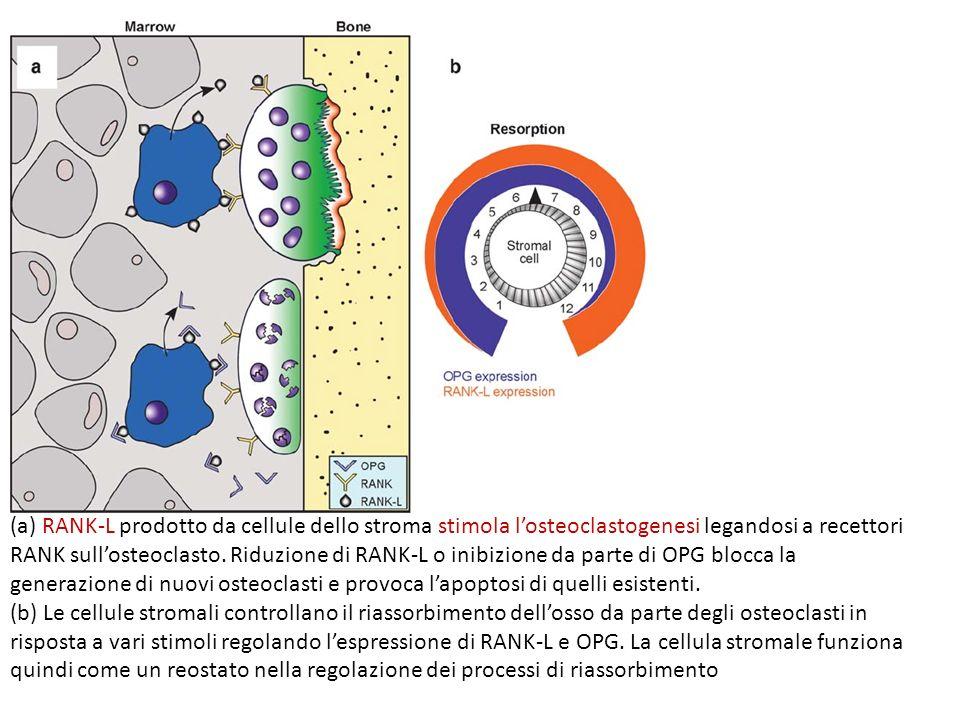 (a) RANK-L prodotto da cellule dello stroma stimola losteoclastogenesi legandosi a recettori RANK sullosteoclasto. Riduzione di RANK-L o inibizione da