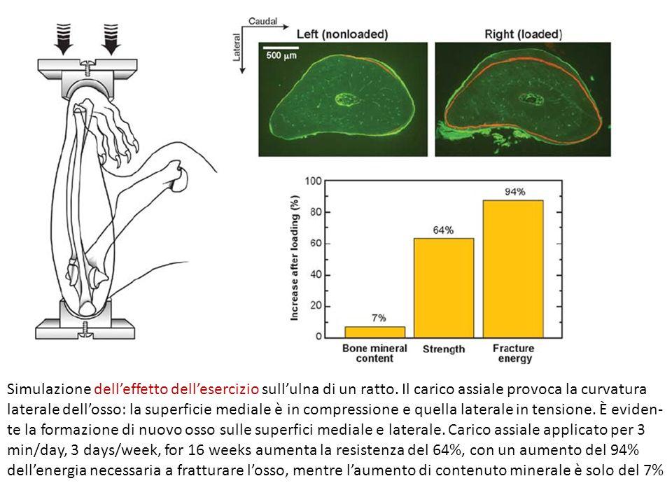Simulazione delleffetto dellesercizio sullulna di un ratto. Il carico assiale provoca la curvatura laterale dellosso: la superficie mediale è in compr