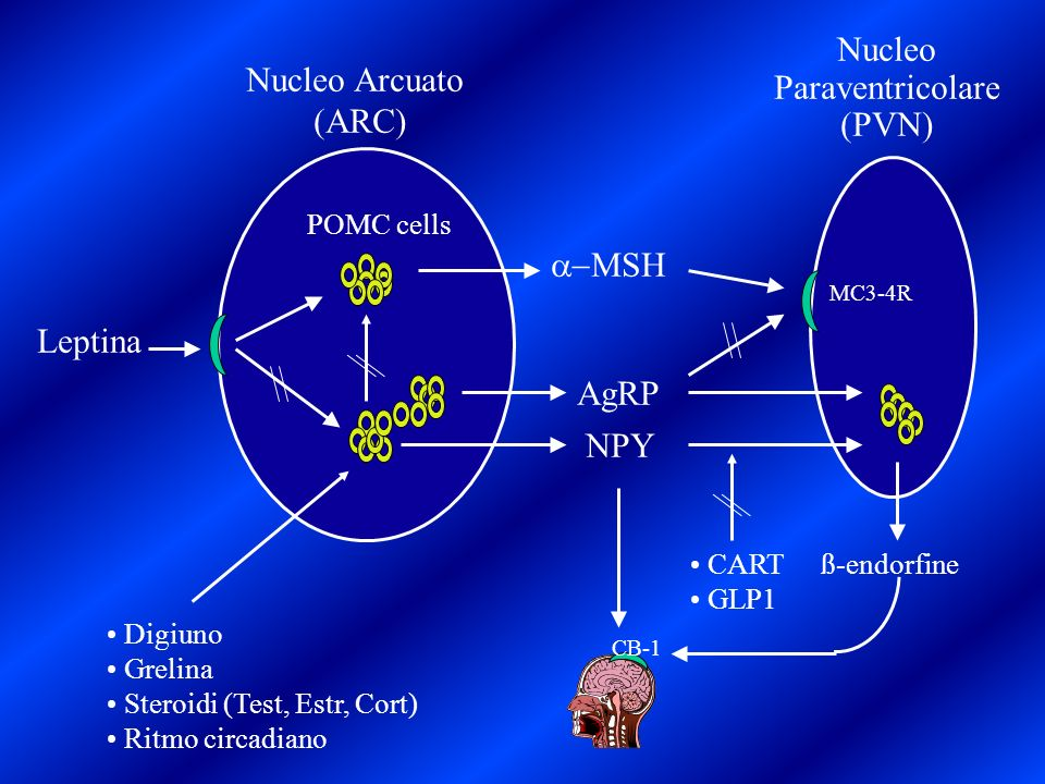 Nucleo Arcuato (ARC) POMC cells MSH AgRP NPY Leptina Nucleo Paraventricolare (PVN) ß-endorfine MC3-4R Digiuno Grelina Steroidi (Test, Estr, Cort) Ritm