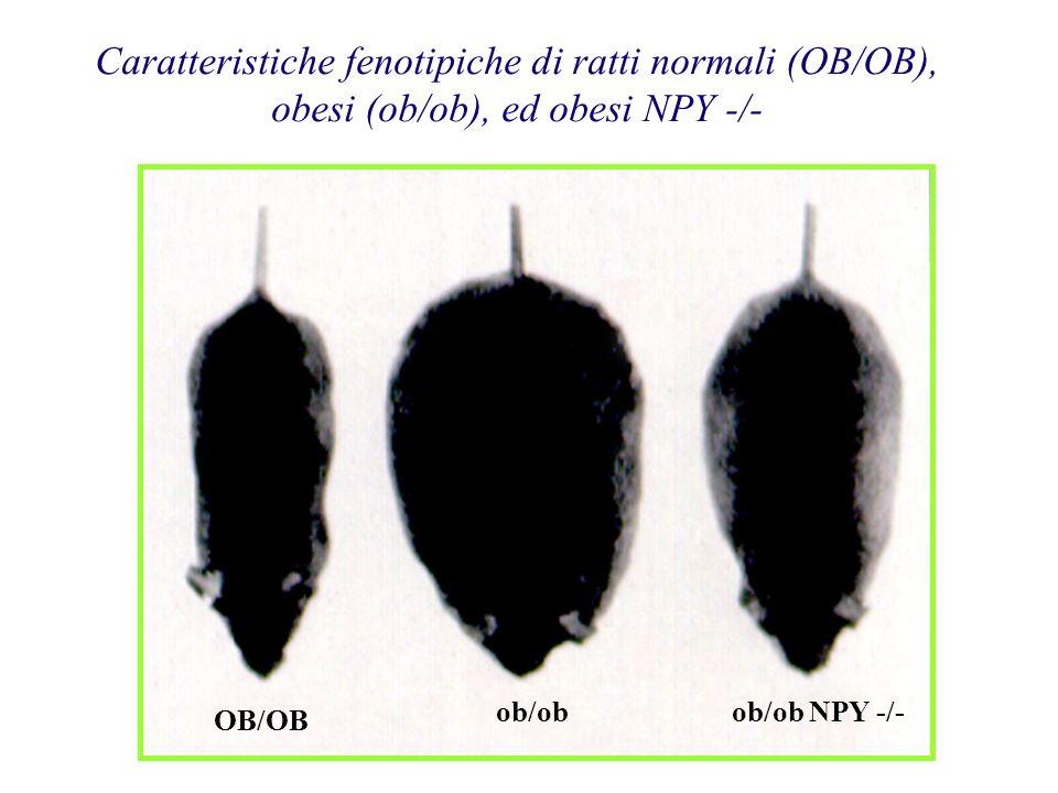 Caratteristiche fenotipiche di ratti normali (OB/OB), obesi (ob/ob), ed obesi NPY -/- OB/OB ob/obob/ob NPY -/-