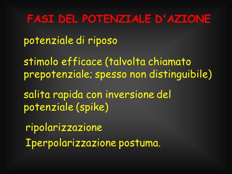 FASI DEL POTENZIALE D'AZIONE potenziale di riposo stimolo efficace (talvolta chiamato prepotenziale; spesso non distinguibile) salita rapida con inver