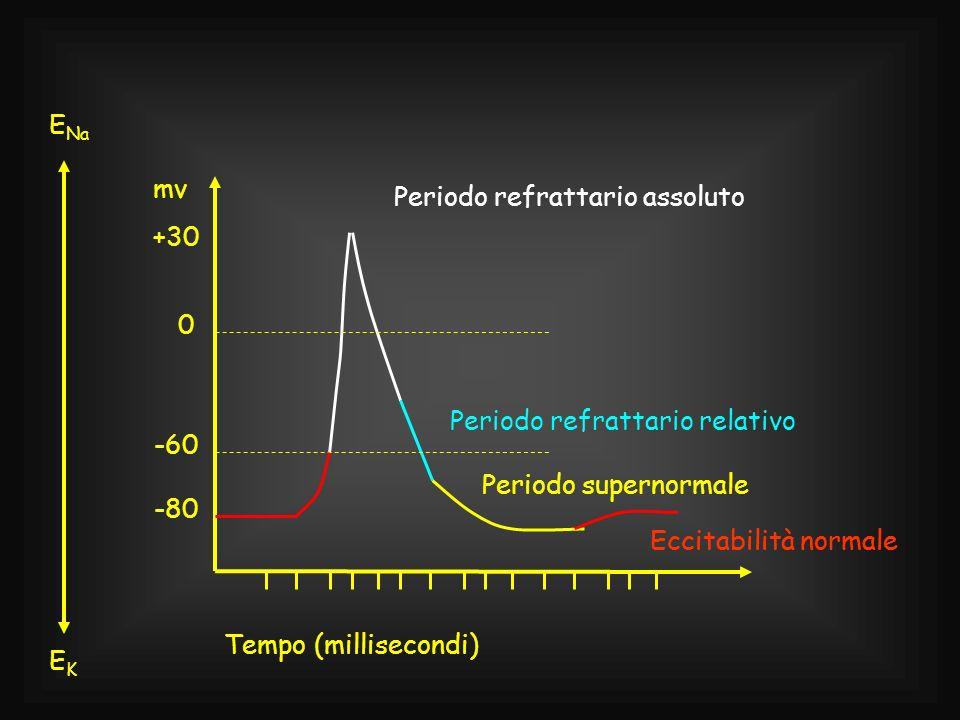 Periodo refrattario assoluto Periodo refrattario relativo Periodo supernormale Eccitabilità normale EKEK 0 -60 -80 +30 mv Tempo (millisecondi) E Na Ec