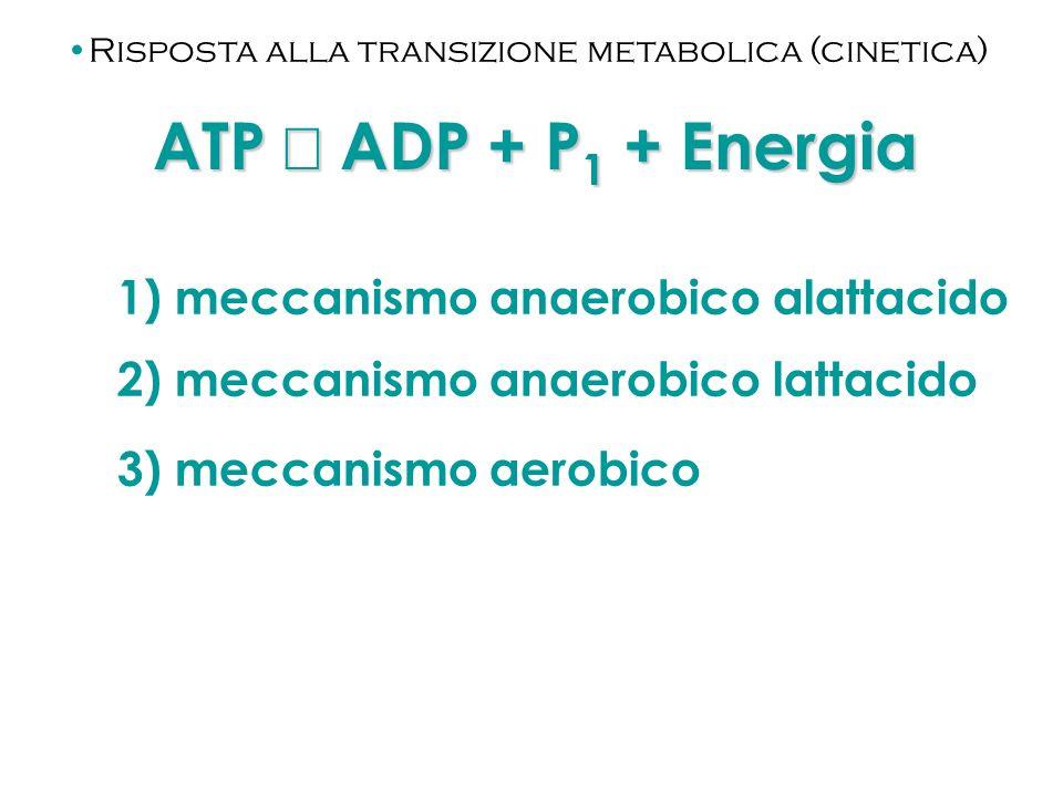 ATP ADP + P 1 + Energia 1) meccanismo anaerobico alattacido 2) meccanismo anaerobico lattacido 3) meccanismo aerobico Risposta alla transizione metabo