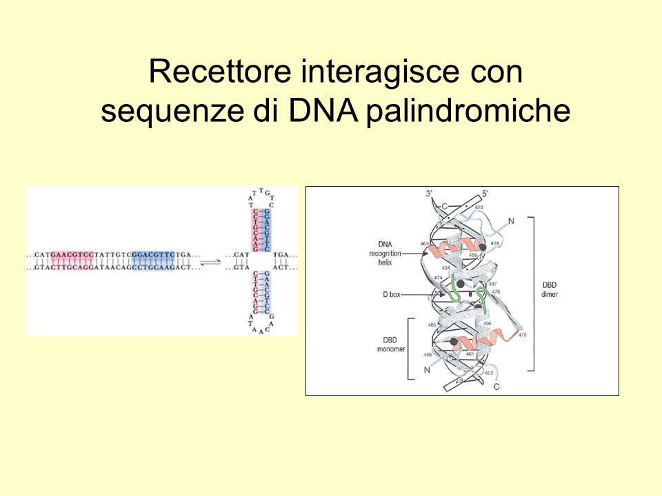 Recettore interagisce con sequenze di DNA palindromiche