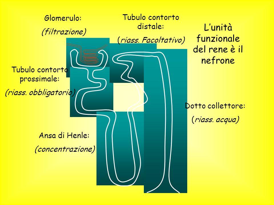 Glomerulo: (filtrazione) Tubulo contorto prossimale: (riass. obbligatorio) Ansa di Henle: (concentrazione) Tubulo contorto distale: (riass. Facoltativ