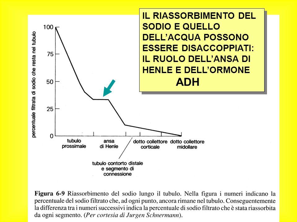 IL RIASSORBIMENTO DEL SODIO E QUELLO DELLACQUA POSSONO ESSERE DISACCOPPIATI: IL RUOLO DELLANSA DI HENLE E DELLORMONE ADH