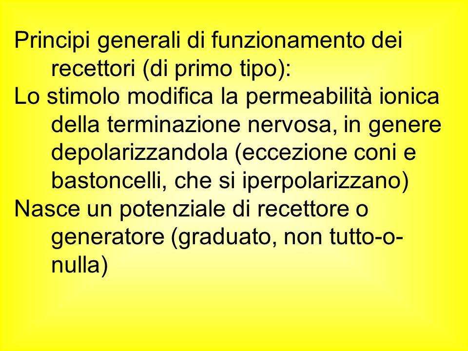 Principi generali di funzionamento dei recettori (di primo tipo): Lo stimolo modifica la permeabilità ionica della terminazione nervosa, in genere dep