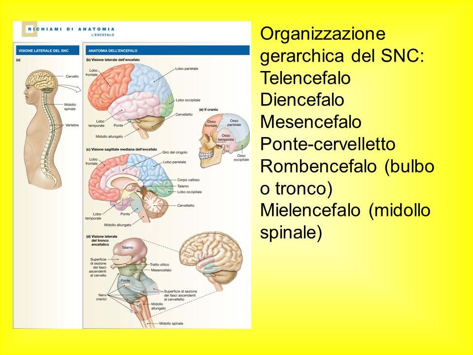Organizzazione gerarchica del SNC: Telencefalo Diencefalo Mesencefalo Ponte-cervelletto Rombencefalo (bulbo o tronco) Mielencefalo (midollo spinale)
