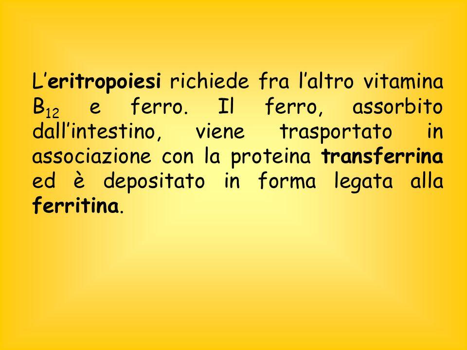 Leritropoiesi richiede fra laltro vitamina B 12 e ferro.