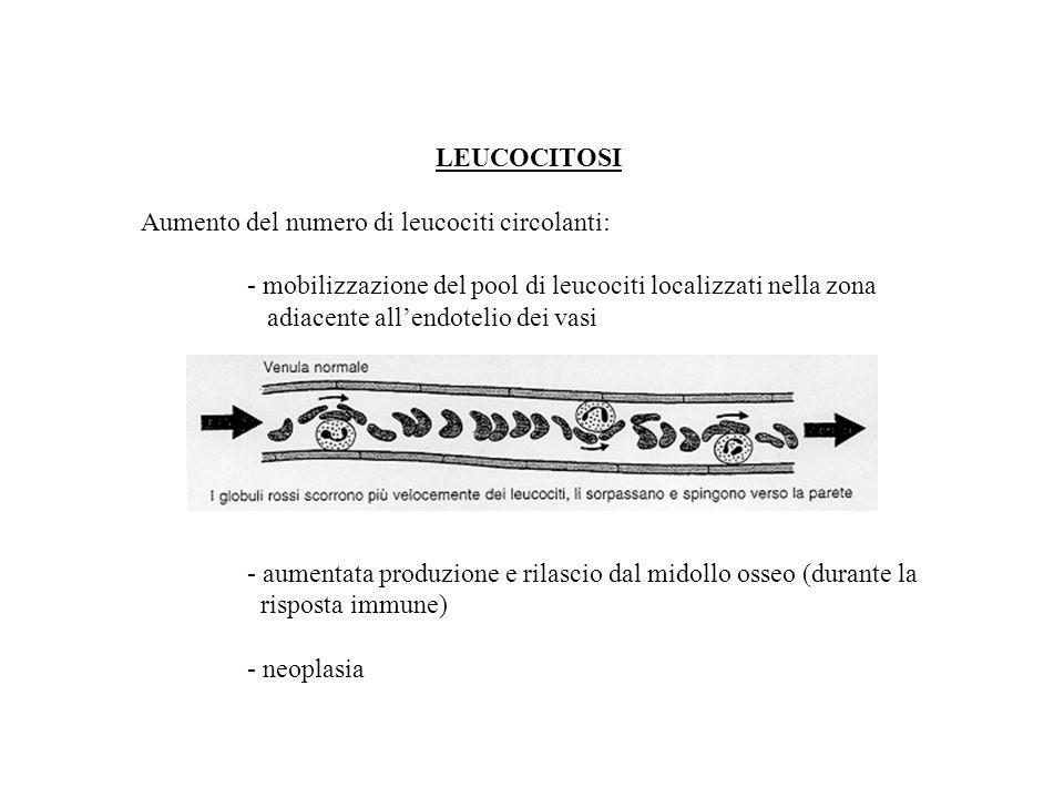 LEUCOCITOSI Aumento del numero di leucociti circolanti: - mobilizzazione del pool di leucociti localizzati nella zona adiacente allendotelio dei vasi - aumentata produzione e rilascio dal midollo osseo (durante la risposta immune) - neoplasia