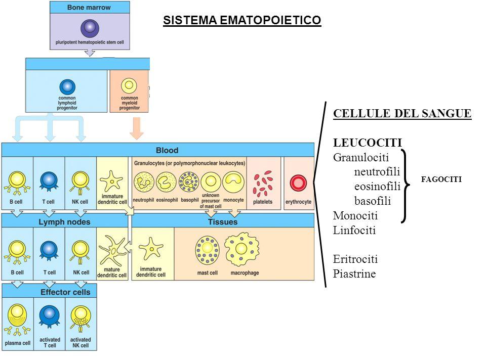 SISTEMA EMATOPOIETICO CELLULE DEL SANGUE LEUCOCITI Granulociti neutrofili eosinofili basofili Monociti Linfociti Eritrociti Piastrine FAGOCITI