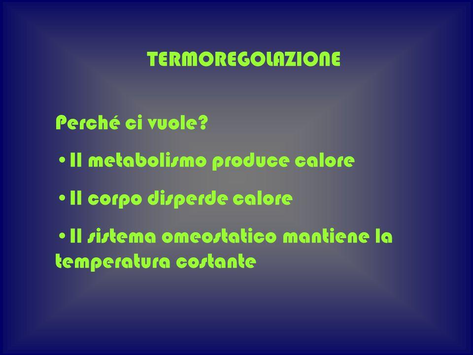 TERMOREGOLAZIONE Perché ci vuole? Il metabolismo produce calore Il corpo disperde calore Il sistema omeostatico mantiene la temperatura costante