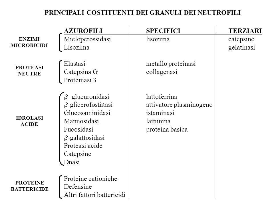 PRINCIPALI COSTITUENTI DEI GRANULI DEI NEUTROFILI AZUROFILISPECIFICITERZIARI Mieloperossidasilisozimacatepsine Lisozimagelatinasi Elastasimetallo prot