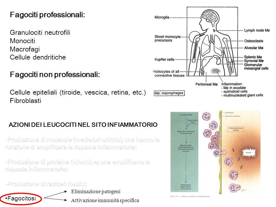 Fagociti professionali: Granulociti neutrofili Monociti Macrofagi Cellule dendritiche Fagociti non professionali: Cellule epiteliali (tiroide, vescica