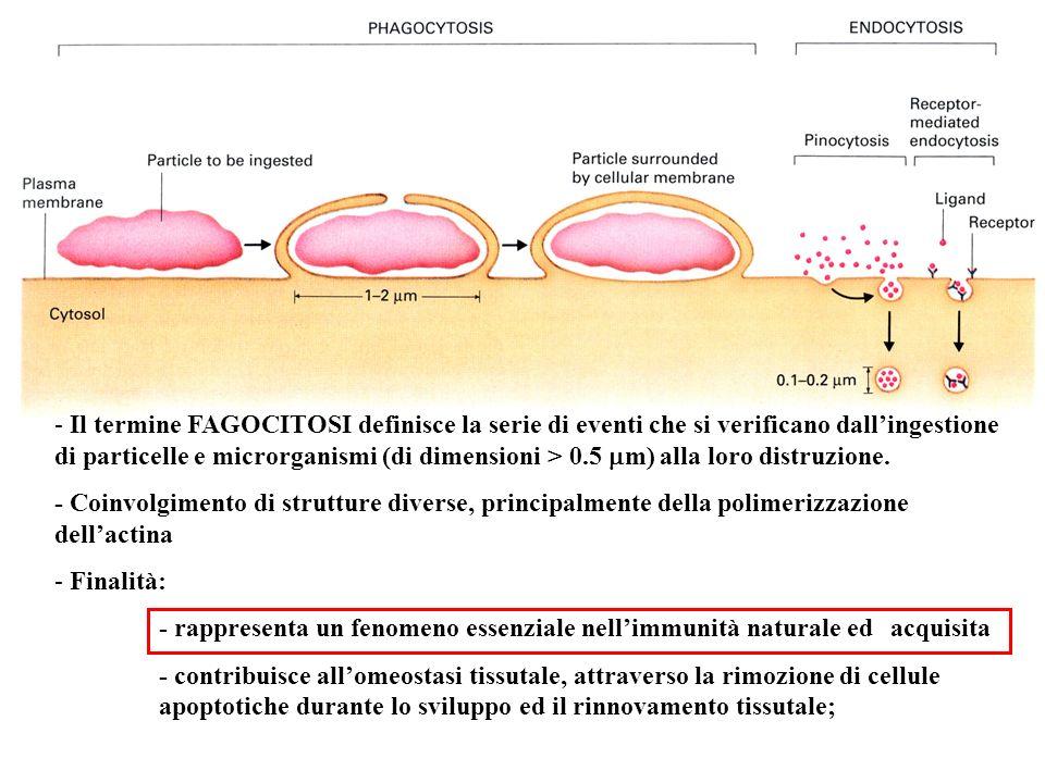 - Il termine FAGOCITOSI definisce la serie di eventi che si verificano dallingestione di particelle e microrganismi (di dimensioni > 0.5 m) alla loro