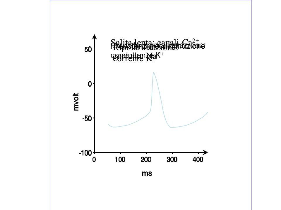 Prepotenziale: diminuzione conduttanza K + Salita lenta: canali Ca 2+ Ripolarizzazione: corrente K + Arresto ripolarizzazione: corrente Na +