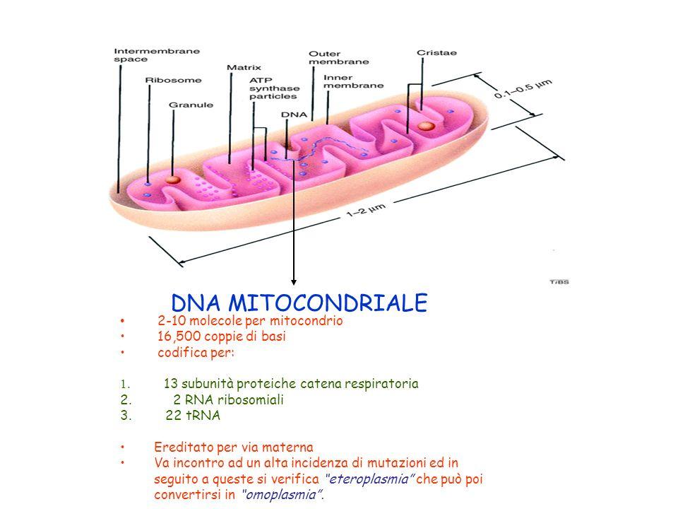 DNA MITOCONDRIALE 2-10 molecole per mitocondrio 16,500 coppie di basi codifica per: 1. 13 subunità proteiche catena respiratoria 2. 2 RNA ribosomiali