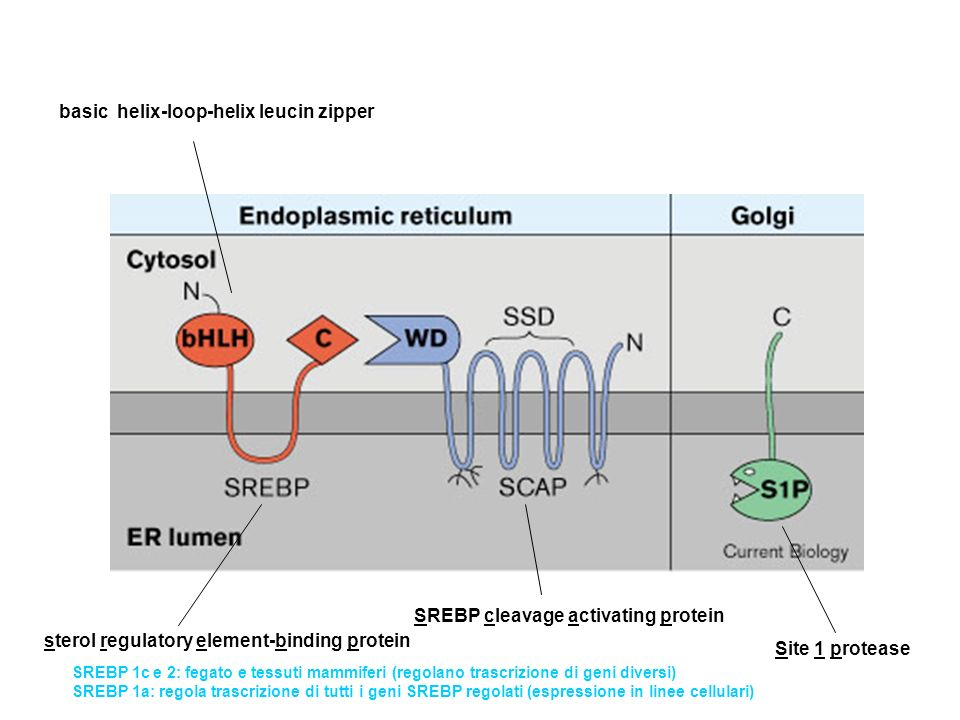 sterol regulatory element-binding protein SREBP cleavage activating protein Site 1 protease basic helix-loop-helix leucin zipper SREBP 1c e 2: fegato
