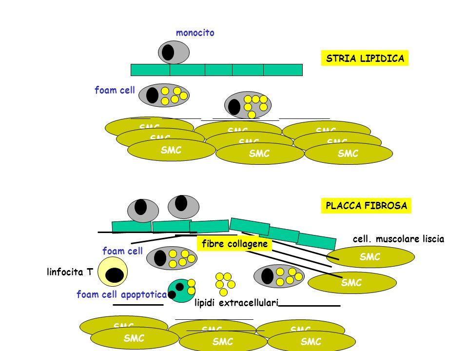 monocito foam cell apoptotica lipidi extracellulari fibre collagene piastrine SMC cell.
