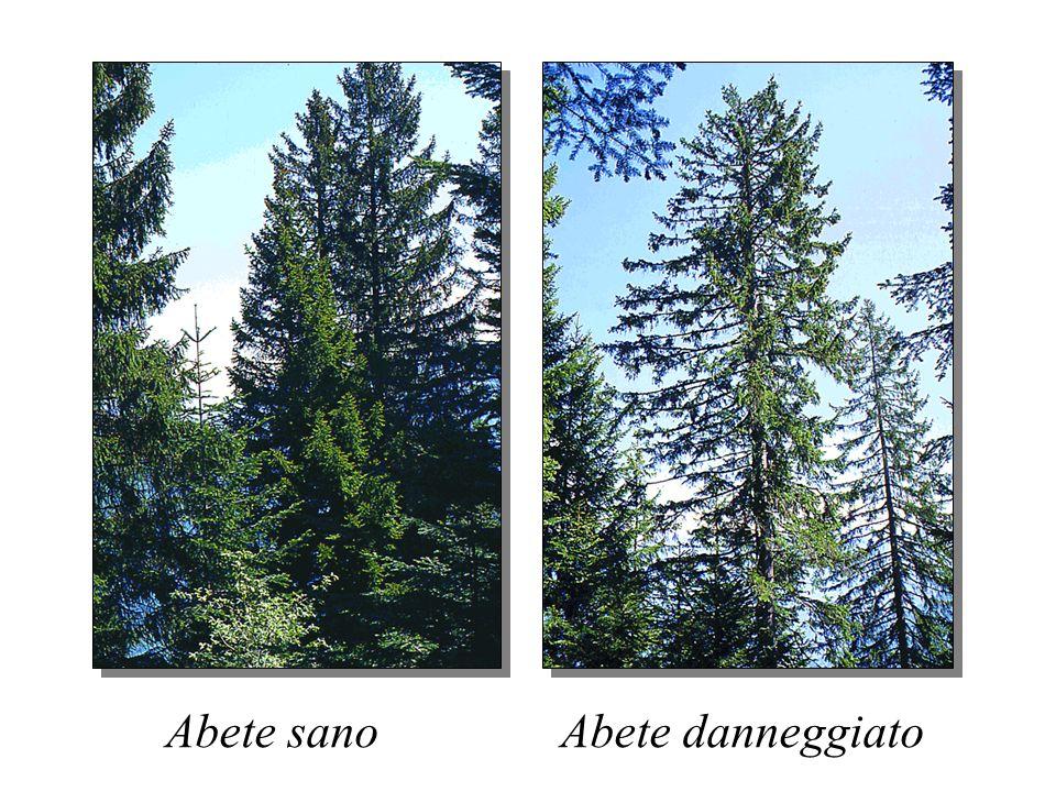 SENSIBILITÀ RELATIVA DELLE PIANTE FORESTALI ALLOZONO Sensibili Ailanto (Ailanthus altissima) Larice (Larix decidua) Noce (Juglans regia) Pino nero (Pi