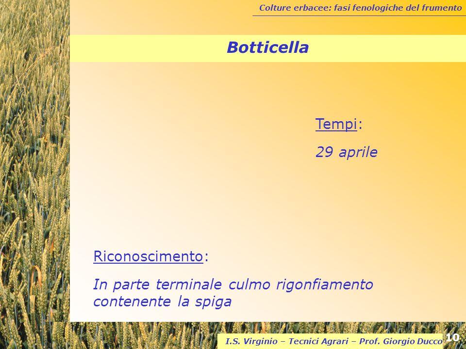 Colture erbacee: fasi fenologiche del frumento 10 I.S. Virginio – Tecnici Agrari – Prof. Giorgio Ducco Botticella Riconoscimento: In parte terminale c