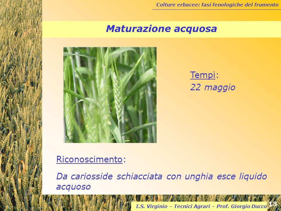 Colture erbacee: fasi fenologiche del frumento 13 I.S. Virginio – Tecnici Agrari – Prof. Giorgio Ducco Maturazione acquosa Riconoscimento: Da cariossi